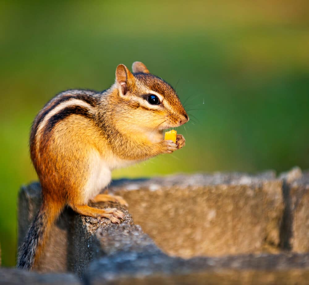 CAN CHIPMUNKS DAMAGE HOUSE FOUNDATION? WHAT ABOUT GROUNDHOGS?